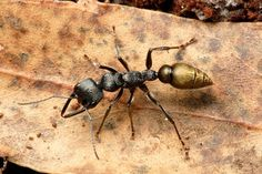 Black Bulldog Ants (Mymercia) also known as bull ants, inch ants, sergeant ants, jumper ants or jack-jumpers (although jack jumper only applies to members of the M. pilosula species group) can grow over 40mm.These ants are very fast and aggressive and are known to have killed humans. About 90% are native to Australia.