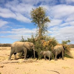 Desert adapted elephants of Kunene Region found during morning game drive with Mowani Mountain Camp (Sept 2016) - Photo taken by BradJill