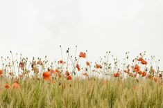 Put Nature at the Heart Image Nature, Nature Images, Nature Pictures, Photo Rose, Poppy Photo, Wild Flower Meadow, Wild Flowers, Flowers Nature, Flora Flowers