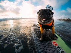 """GoPro on Twitter: """"Photo of the Day! @brandy_the_pug repping the original 35mm HERO! Still works like a charm! #GoPro #GoProPets…"""