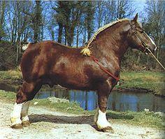 Bretonen Draft horse.  What a butt.