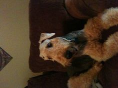 Willis, the Airedale