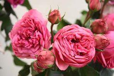 Pink Piano (Rose)
