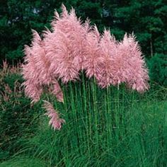 "Pink Pampas Grass (Cortaderia selloana) - You can enjoy fresh green foliage topped by long, thick dusty-pink plumes when you grow Pampas Grass seeds. These elegant ornamental grasses have ""feather duster"" plumes from late summer and throughout the. Grass Seed, All Nature, My Secret Garden, Ornamental Grasses, Tall Grasses, Dream Garden, Lawn And Garden, Diy Garden, Garden Inspiration"