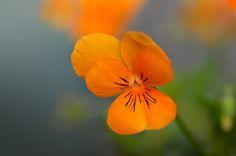 Pure Orange - null