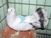 Seljuk Fantail Nor (10 Por Completed New Adult) pigeon For Sell