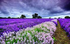 Terra/Natureza Lavanda  Nature Spring Purple Landscape Cloud Earth Field Flower Lavender Field Papel de Parede