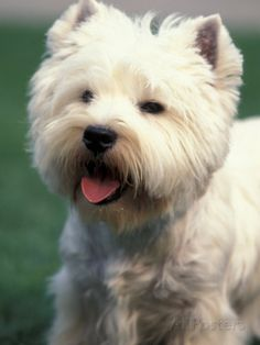 West Highland Terrier / Westie Panting Posters by Adriano Bacchella