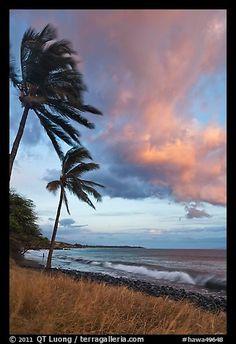 Palm trees on beach sway in breeze at sunset. Lahaina, Maui, Hawaii, USA