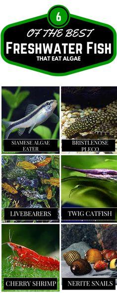 6 Best freshwater fish that eat algae