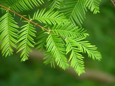 Dawn Redwood Tree - Metasequoia - Outside or Bonsai - Quart Pot Conifer Trees, Evergreen Trees, Deciduous Trees, Flowering Trees, Redwood Bonsai, Sequoia Sempervirens, Privacy Trees, Tree Seedlings, Specimen Trees