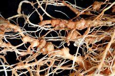 Los nematodos son pequeños nódulos que aparecen en las raíces de las plantas y que impiden que esta se desarrolle y se alimente de forma correcta. Con estos sencillos pasos a tener en cuenta, evitarás la aparición de nematodos en tus cultivos.