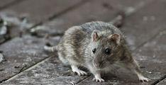 Rott http://www.veeseire.ee/loodusblogi