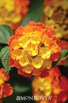 Landmark Lantana - These Simply Beautiful® selections come in vibrant colors that will liven up the summer landscape. These vigorous, heat-loving plants perform through humidity and drought, quickly filling beds and borders or spilling over low walls with their bright flower clusters covering mounds of dark green foliage. Ideal for mass planting.