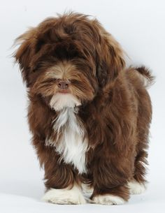 "Click visit site and Check out Best HAVANESE Shirts. This website is outstanding. Tip: You can search ""your last name"" or ""your favorite shirts"" at search bar on the top. #Abyssinian #Cat"