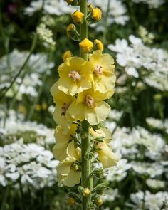 JULY Verbascum 'Christo's Yellow Lightning', naturally occurring hybrid from Great Dixter Gardens