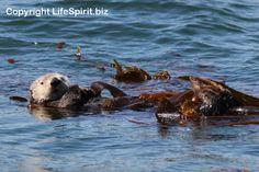 Sea Otter, Monterey, California, Wildlife Photography, Life Spirit, Mark Conway
