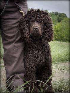 Irish Water Spaniel #IWS #Dog #Puppy