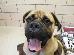 MOOSE is an adoptable Bullmastiff Dog in Fort Wayne, IN. Super sweet and really gentle boy! I am happy-go-lucky and have a zest for life. I may be over 100 pounds, but I still want to cuddle with you ...
