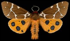 """ex0skeletal: """"Winged Tapestries: Moths at Large, a special exhibition of oversized prints by Canadian artist Jim des Rivière """""""