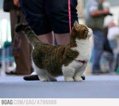 Corgi-Cat