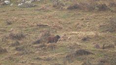 Sheep hunting on trophy Arapawa Ram