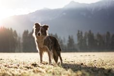 Border collie in front of mountains in Corinth Carinthia, Blue Merle, Dog Photography, Border Collie, Sunnies, Husky, Mountains, Dogs, Animals