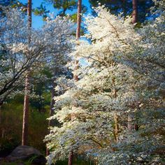 Flowering Dogwood - Flowering Southern Trees You Need to Plant Now - Southernliving. There are many dogwood varieties, but no type is quite as popular in the South as the flowering dogwood (Cornus florida). The flowering dogwood, native to the eastern United States from New England to central Florida, is the state flower of North Carolina and Virginia. Its blooms are typically white, though you might occasionally spot pink and red variations also.