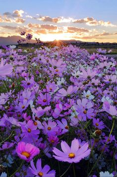 Beauty of Nature. Here you relax with these backyard landscaping ideas and landscape design. Flower Background Wallpaper, Flower Backgrounds, Cosmos Flowers, Wild Flowers, Field Of Flowers, Black Flowers, Beautiful Nature Wallpaper, Beautiful Landscapes, Amazing Flowers
