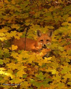 Herbstfuchs - Autumn Fox, lost in the autumn foliage Autumn Scenery, Autumn Nature, Autumn Trees, Autumn Leaves Festival, Pink Dogwood, Autumn Cozy, Choose Life, Foliage Plants, Landscaping Plants