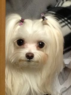 Tiny Pixel: Pixel is 2.0 lbs at 6 yrs old. My tiny Maltese and sweet. I keep her in full coat, which requires weekly baths and almost daily grooming. To keep her from