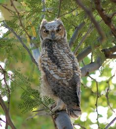 Great Horned Owl (Bubo virginianus) brancher. Photo by Doug Hatfield.
