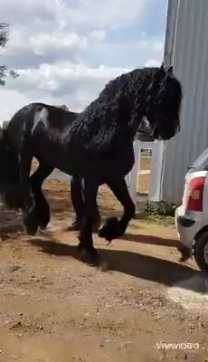 The Friesian was first introduced to the Americas when the Dutch settled on the southern tip of Manhattan Island in Big Horses, Black Horses, Cute Horses, Pretty Horses, Black Stallion Horse, Funny Horse Videos, Funny Horses, Cute Animal Videos, Pet Videos