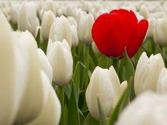 Piros és fehér tulipán - PROAKTIVdirekt Életmód magazin és hírek…