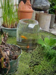 Garrafa cheia com água do lago fica com a abertura para baixo e os peixes nadam até ela.