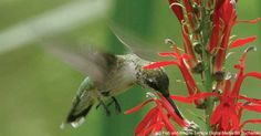 There are more than 300 species of hummingbirds in the world, 16 of which spend…