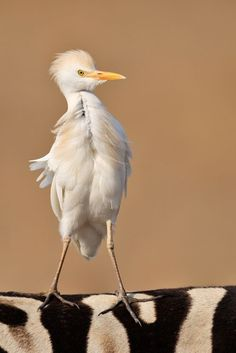 cattle egret (photo via imgfave). Probably one of the most artistic wildlife photos I've seen. Love it.