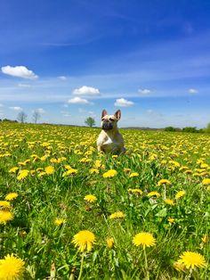 Maggie the French Bulldog