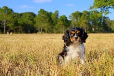 The breeder Florida Pups has AKC Cavalier King Charles Spaniel puppies in Florida, our puppies are healthy and playful.