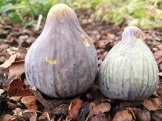 Col de Dama Blanca Negra Fig Varieties, Fresh Figs, Cute Baby Animals, Cute Babies, White Queen, Figs, Fruits And Veggies, Funny Babies