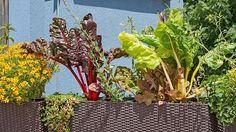 V truhlíku. Ani ten, kdo zahradničí na balkóně ve městě, nepřijde zkrátka. Pozor, zemina v nádobě nesmí vyschnout!