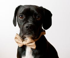 Quite possibly the cutest dog I've ever seen.  Equipped with bowtie from SillyBuddy - Etsy, Chicago