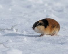 a silly lil' Norway Lemming