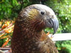 Kaka ~ My profile pic is a kaka that came to visit my garden and stayed 2 weeks. Wonderful! Kiwi, Parrot, New Zealand, Nativity, Wildlife, Profile, Birds, Garden, Animals