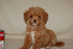 Bichon-Poo :) Soo cute!