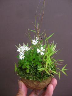 盆栽:屋久島ノギク他寄せ植え