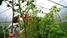 Treat your tomatoes well when you plant them in a greenhouse, hoop house or high tunnel for a year-round tomato crop.