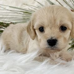 Joy is a Female Cavachon puppy for sale at PuppySpot. Call us today to learn more (reference 626740 when you call). Puppy Facts, Cavachon Puppies, Puppy Finder, Puppy Mills, Puppies For Sale, Best Games, Things To Come, Joy, Animals