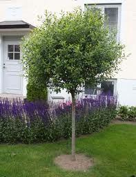 46. Prunus x eminens Umbraculifera (Klotkörsbär)
