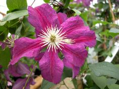 Clematis hybrids group ... www.clematis.be... Vostok